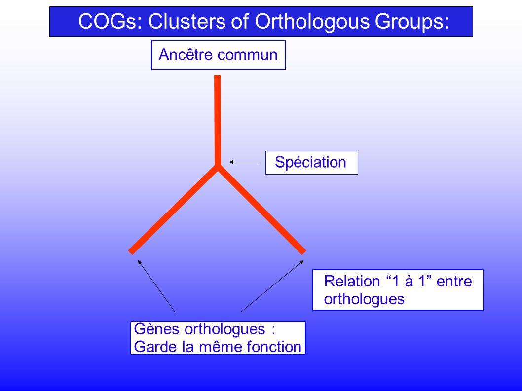 Gènes orthologues : Garde la même fonction Relation 1 à 1 entre orthologues Spéciation Ancêtre commun COGs: Clusters of Orthologous Groups: