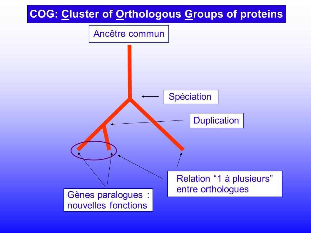 COG: Cluster of Orthologous Groups of proteins Spéciation Relation 1 à plusieurs entre orthologues Gènes paralogues : nouvelles fonctions Duplication Ancêtre commun