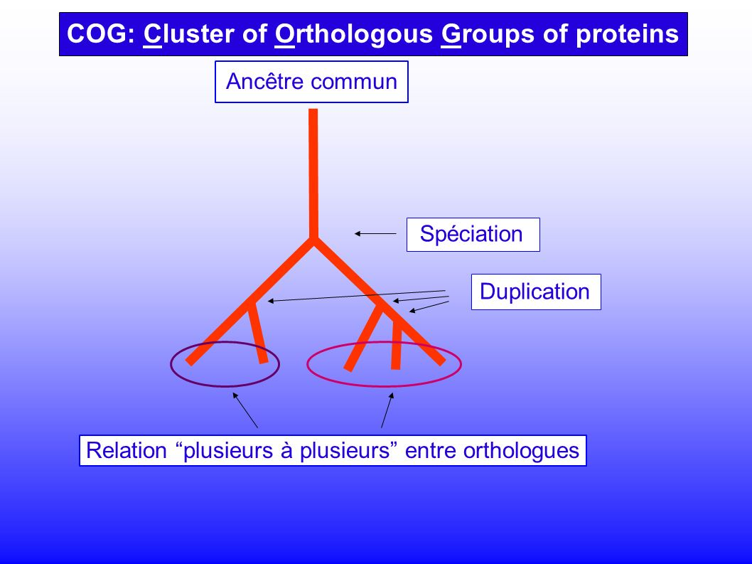 Spéciation Duplication COG: Cluster of Orthologous Groups of proteins Relation plusieurs à plusieurs entre orthologues Ancêtre commun