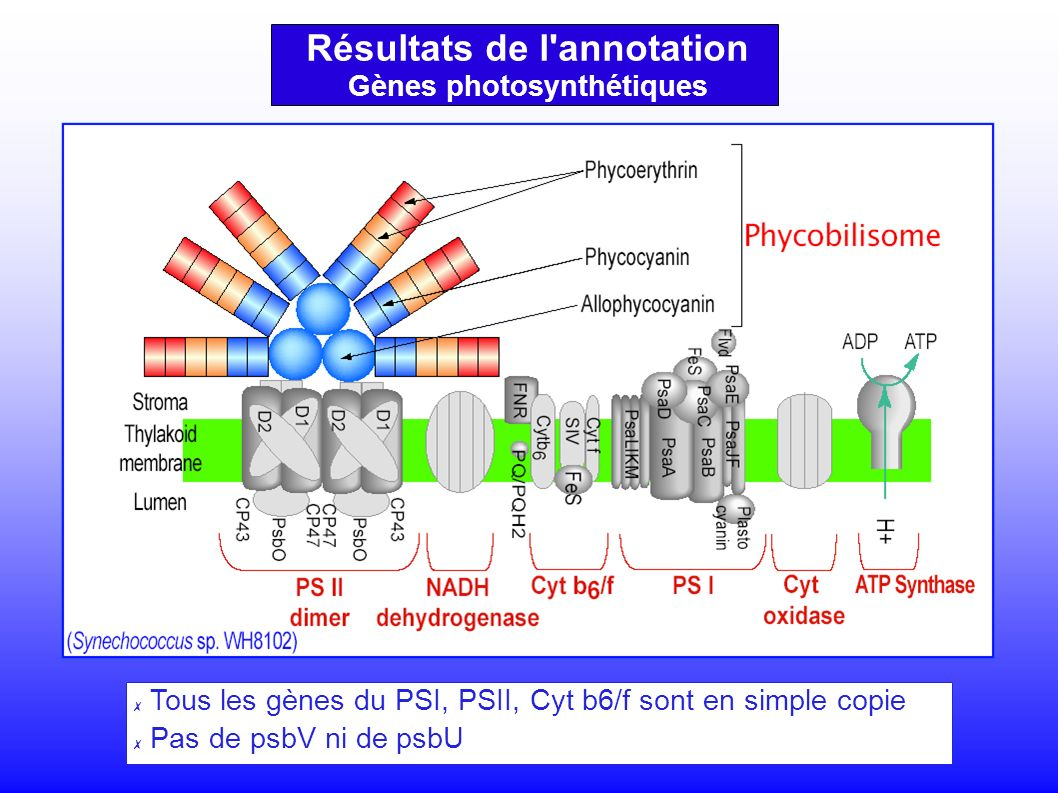 Résultats de l annotation Gènes photosynthétiques Tous les gènes du PSI, PSII, Cyt b6/f sont en simple copie Pas de psbV ni de psbU