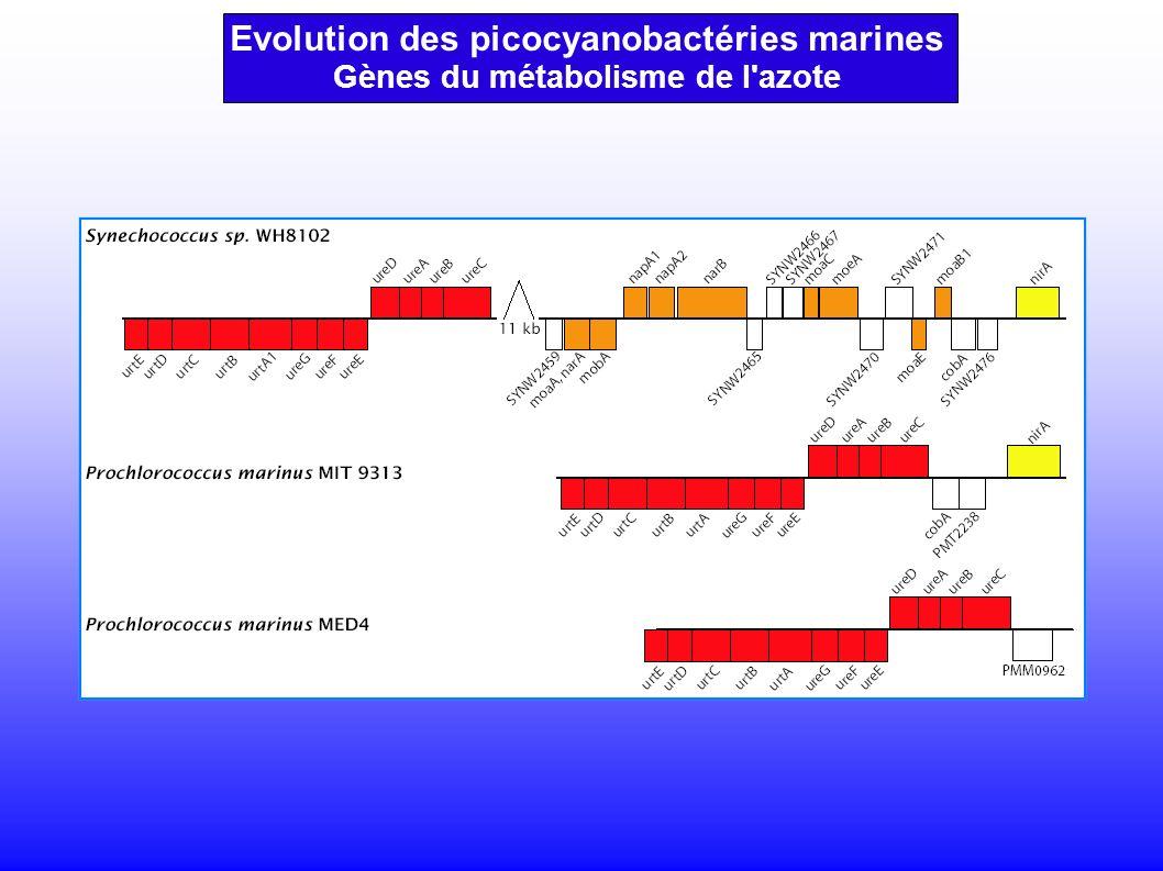 Evolution des picocyanobactéries marines Gènes du métabolisme de l azote