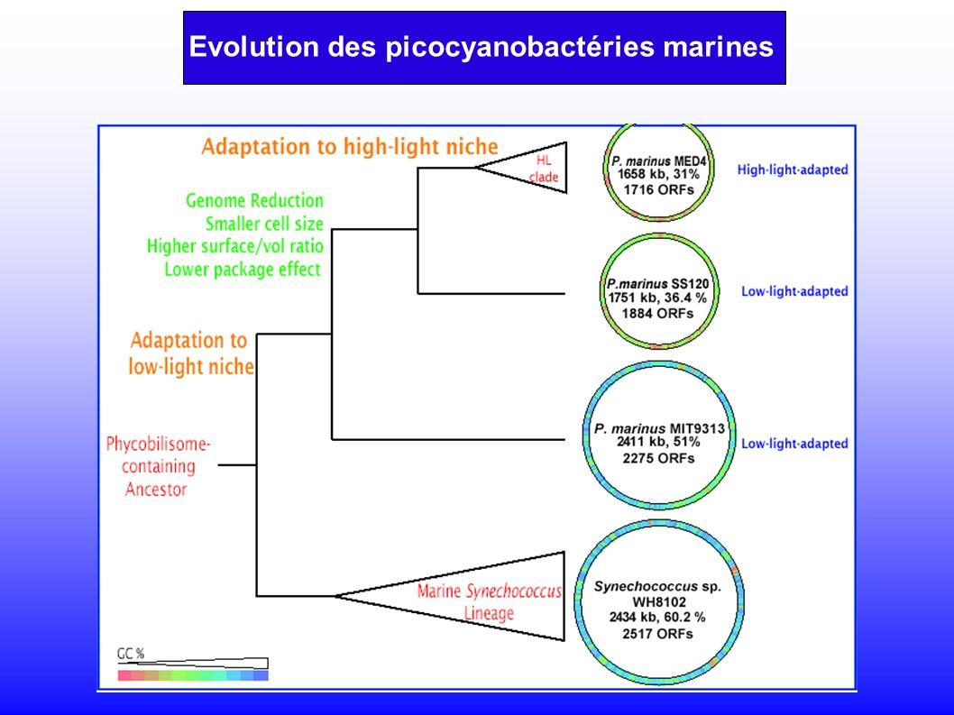 Evolution des picocyanobactéries marines