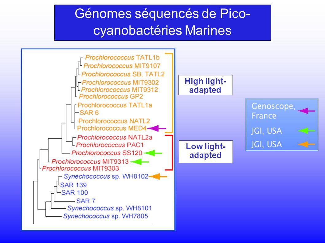 Génomes séquencés de Pico- cyanobactéries Marines High light- adapted Low light- adapted
