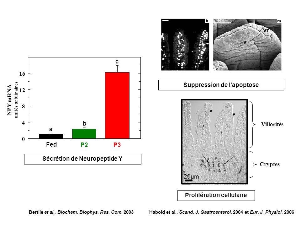 Suppression de lapoptose Villosités Prolifération cellulaire Cryptes 20µm Bertile et al., Biochem. Biophys. Res. Com. 2003 Sécrétion de Neuropeptide Y