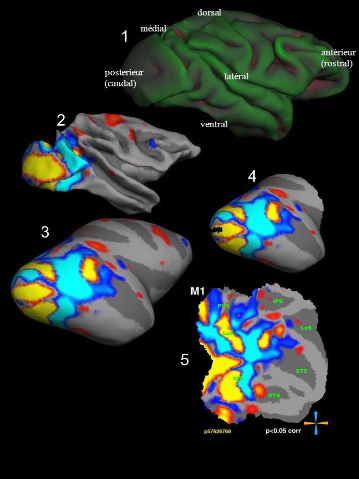 1 2 3 4 5 posterieur (caudal) antérieur (rostral) ventral dorsal latéral médial