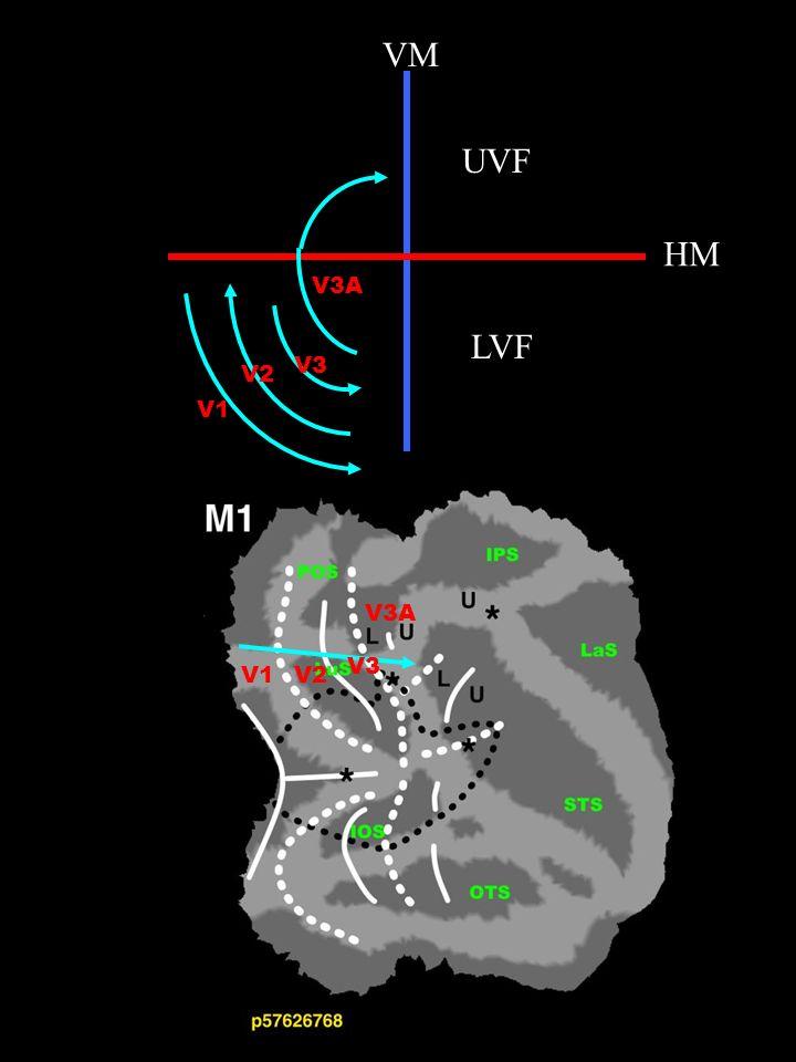Chez le singe : electrophysiologie, traceurs chimiques compilation de nombreux cas Chez lhomme : IRMf études individuelles - carte complète chez chaque animal - reproductibilité - homologies avec lhomme (MT,V4,V3A)