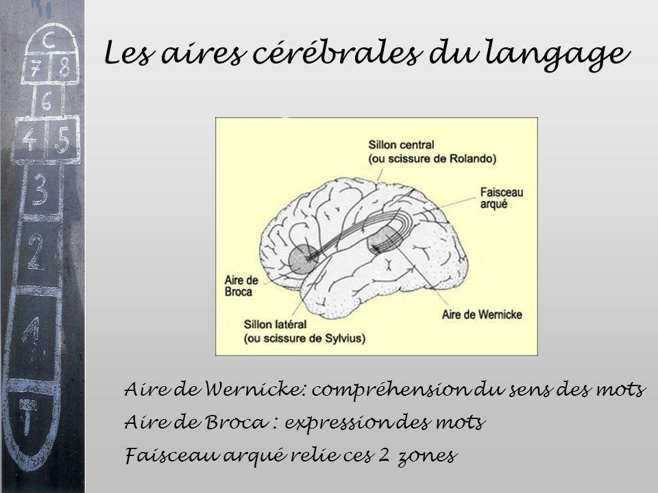 Les aires cérébrales du langage Aire de Wernicke: compréhension du sens des mots Aire de Broca : expression des mots Faisceau arqué relie ces 2 zones