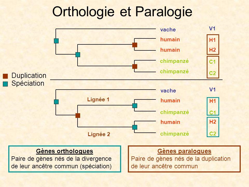 Orthologie et Paralogie Gènes out-paralogues La duplication est suivie dau moins une spéciation Gènes in-paralogues La duplication nest suivie daucune spéciation Duplication Spéciation V1 H1 H2 C1 C2 humain vache chimpanzé humain chimpanzé V1 H1 H2 C1 C2 humain vache chimpanzé humain chimpanzé Lignée 1 Lignée 2 Terminologie pour les gènes paralogues (Remm et al.