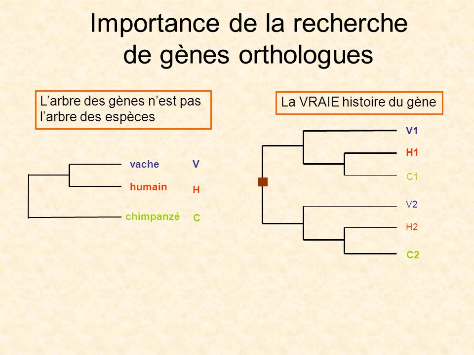 Larbre des gènes nest pas larbre des espèces Importance de la recherche de gènes orthologues La VRAIE histoire du gène V H C humain vache chimpanzé V1