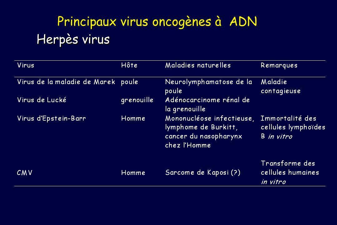 Principaux virus oncogènes à ADN Herpès virus