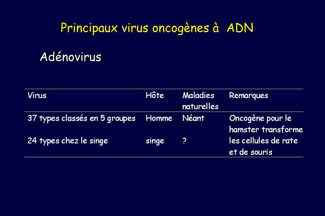 Principaux virus oncogènes à ADN Adénovirus