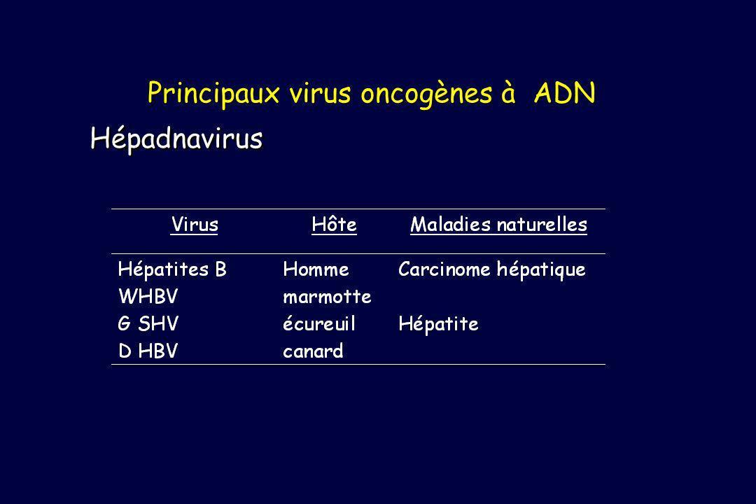 Principaux virus oncogènes à ADN Hépadnavirus