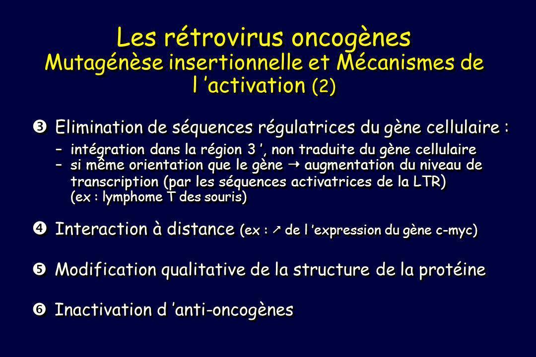 Elimination de séquences régulatrices du gène cellulaire : Elimination de séquences régulatrices du gène cellulaire : –intégration dans la région 3, non traduite du gène cellulaire –si même orientation que le gène augmentation du niveau de transcription (par les séquences activatrices de la LTR ) (ex : lymphome T des souris) Interaction à distance (ex : de l expression du gène c-myc) Interaction à distance (ex : de l expression du gène c-myc) Modification qualitative de la structure de la protéine Modification qualitative de la structure de la protéine Inactivation d anti-oncogènes Inactivation d anti-oncogènes Elimination de séquences régulatrices du gène cellulaire : Elimination de séquences régulatrices du gène cellulaire : –intégration dans la région 3, non traduite du gène cellulaire –si même orientation que le gène augmentation du niveau de transcription (par les séquences activatrices de la LTR ) (ex : lymphome T des souris) Interaction à distance (ex : de l expression du gène c-myc) Interaction à distance (ex : de l expression du gène c-myc) Modification qualitative de la structure de la protéine Modification qualitative de la structure de la protéine Inactivation d anti-oncogènes Inactivation d anti-oncogènes Les rétrovirus oncogènes Mutagénèse insertionnelle et Mécanismes de l activation ( 2 )