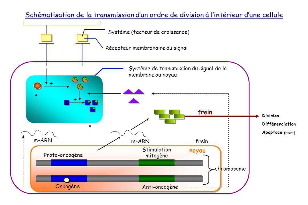 Système (facteur de croissance) Récepteur membranaire du signal Système de transmission du signal de la membrane au noyau frein m-ARN frein chromosome + + Proto-oncogène Stimulation mitogène Division Différenciation Apoptose (mort) Schématisation de la transmission dun ordre de division à lintérieur dune cellule Oncogène Anti-oncogène chromosome noyau