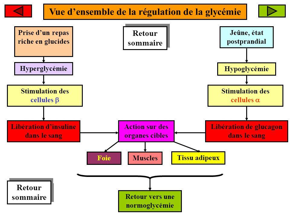 Vue densemble de la régulation de la glycémie Hyperglycémie Retour vers une normoglycémie FoieMuscles Tissu adipeux Retour sommaire Retour sommaire Ac