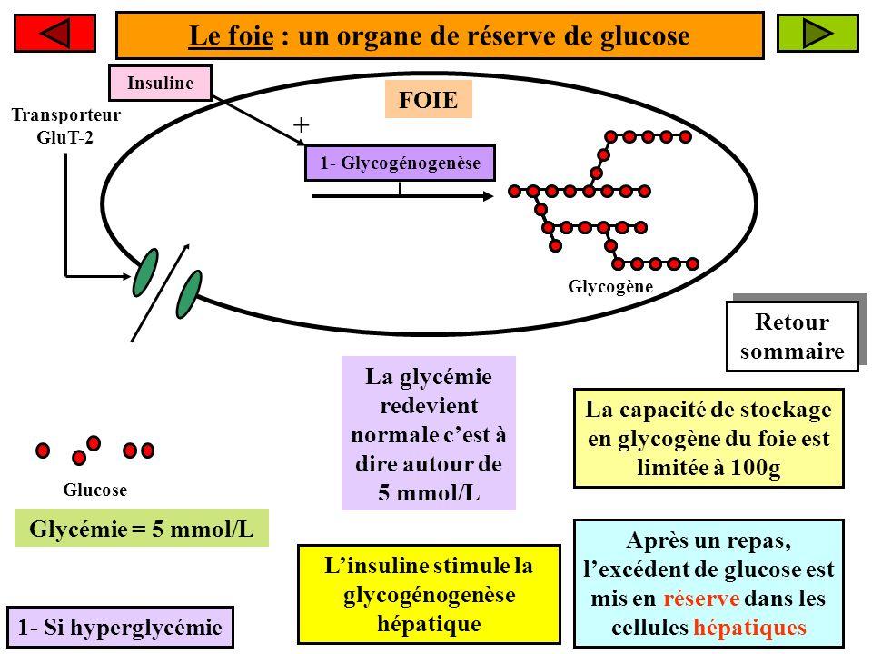 Le foie : un organe de réserve de glucose 1- Si hyperglycémie FOIE Glucose La glycémie redevient normale cest à dire autour de 5 mmol/L 1- Glycogénogenèse Glycogène Glycémie > 5 mmol/L La capacité de stockage en glycogène du foie est limitée à 100g Après un repas, lexcédent de glucose est mis en réserve dans les cellules hépatiques Transporteur GluT-2 Glycémie = 5 mmol/L Insuline + Linsuline stimule la glycogénogenèse hépatique Retour sommaire Retour sommaire