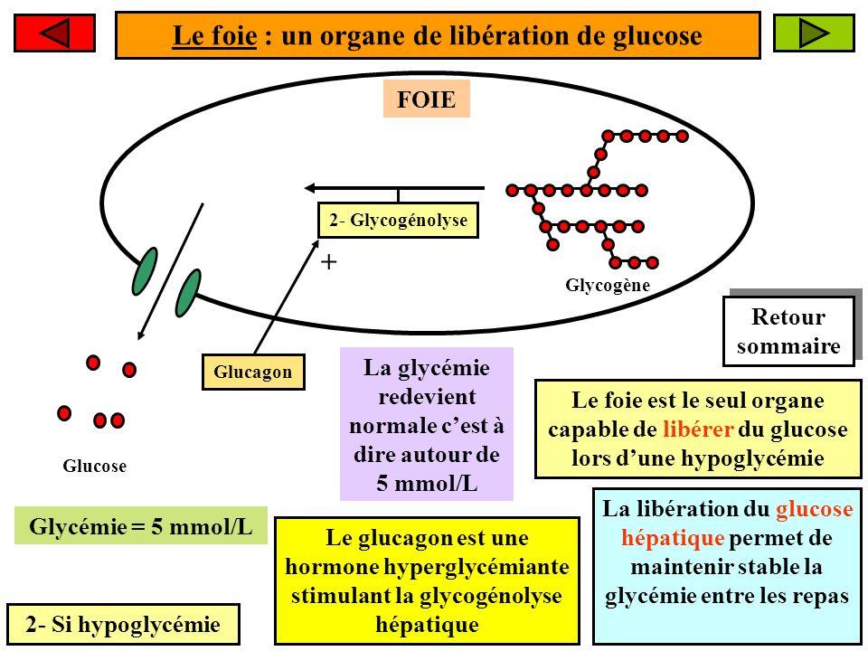 Le foie : un organe de libération de glucose 2- Si hypoglycémie FOIE La glycémie redevient normale cest à dire autour de 5 mmol/L 2- Glycogénolyse Glu