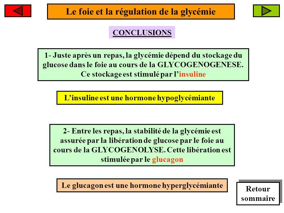 Le foie et la régulation de la glycémie 2- Entre les repas, la stabilité de la glycémie est assurée par la libération de glucose par le foie au cours de la GLYCOGENOLYSE.