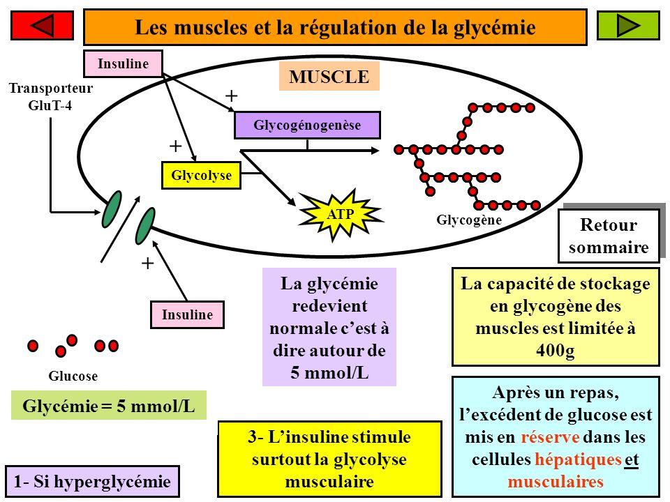 Les muscles et la régulation de la glycémie 1- Si hyperglycémie MUSCLE Glucose La glycémie redevient normale cest à dire autour de 5 mmol/L Glycogénogenèse Glycogène Glycémie > 5 mmol/L La capacité de stockage en glycogène des muscles est limitée à 400g Après un repas, lexcédent de glucose est mis en réserve dans les cellules hépatiques et musculaires Transporteur GluT-4 Glycolyse ATP Insuline + 1- Linsuline stimule lentrée du glucose dans les myocytes via GluT-4 Insuline + + 2- Linsuline stimule la glycogénogenèse musculaire 3- Linsuline stimule surtout la glycolyse musculaire Glycémie = 5 mmol/L Retour sommaire Retour sommaire