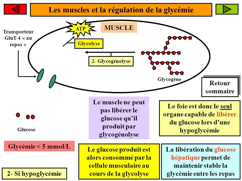 Les muscles et la régulation de la glycémie 2- Si hypoglycémie Le muscle ne peut pas libérer le glucose quil produit par glycogénolyse 2- Glycogénolyse Glucose Glycogène Glycémie < 5 mmol/L Le foie est donc le seul organe capable de libérer du glucose lors dune hypoglycémie La libération du glucose hépatique permet de maintenir stable la glycémie entre les repas MUSCLE Glycolyse ATP Le glucose produit est alors consommé par la cellule musculaire au cours de la glycolyse Transporteur GluT-4 « au repos » Retour sommaire Retour sommaire