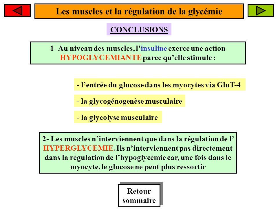 2- Les muscles ninterviennent que dans la régulation de l HYPERGLYCEMIE. Ils ninterviennent pas directement dans la régulation de lhypoglycémie car, u