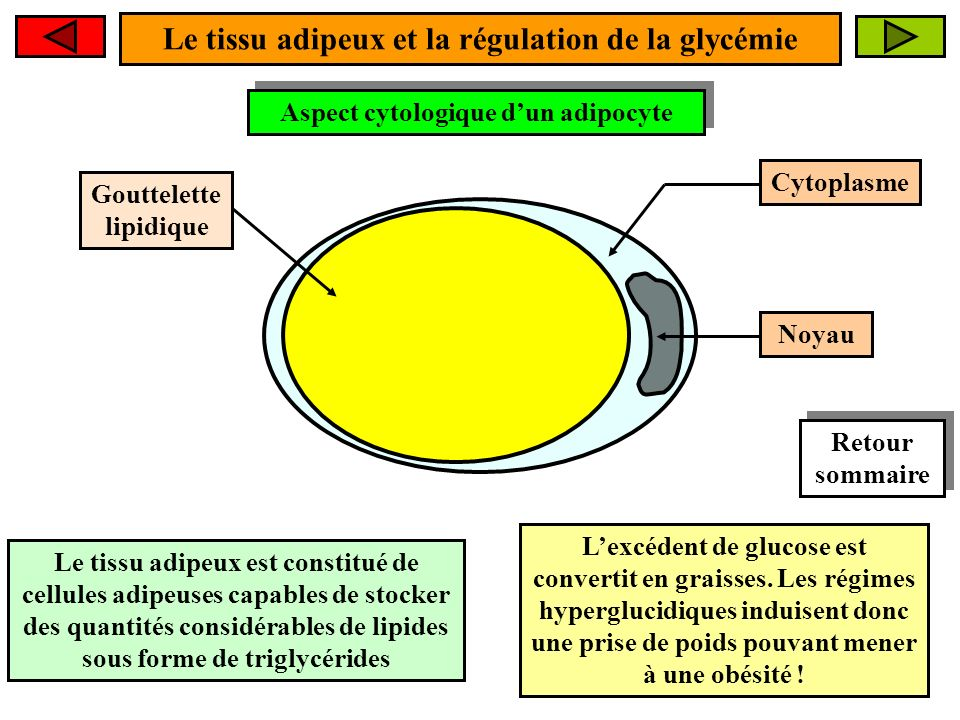 Le tissu adipeux et la régulation de la glycémie Aspect cytologique dun adipocyte Aspect cytologique dun adipocyte Gouttelette lipidique Le tissu adipeux est constitué de cellules adipeuses capables de stocker des quantités considérables de lipides sous forme de triglycérides Lexcédent de glucose est convertit en graisses.