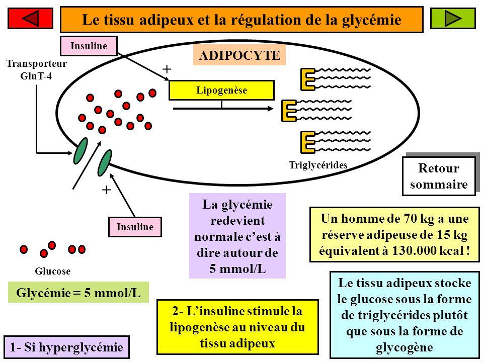 Le tissu adipeux et la régulation de la glycémie 1- Si hyperglycémie ADIPOCYTE Glucose La glycémie redevient normale cest à dire autour de 5 mmol/L Glycémie > 5 mmol/L Transporteur GluT-4 Insuline + Insuline + Lipogenèse Un homme de 70 kg a une réserve adipeuse de 15 kg équivalent à 130.000 kcal .