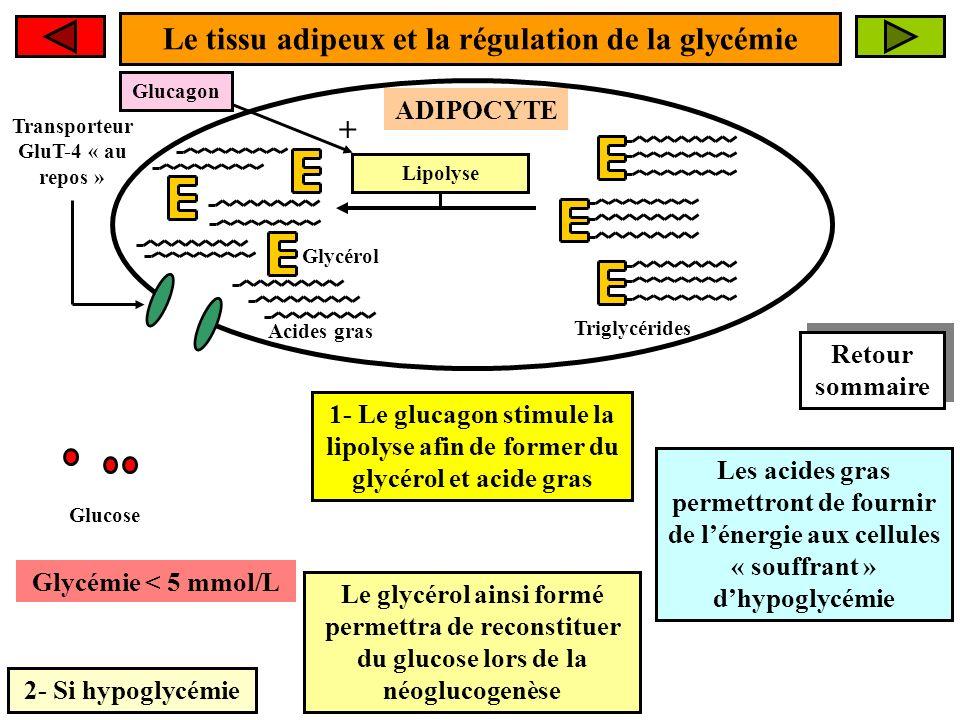 Le tissu adipeux et la régulation de la glycémie 2- Si hypoglycémie ADIPOCYTE Glycémie < 5 mmol/L Transporteur GluT-4 « au repos » 1- Le glucagon stimule la lipolyse afin de former du glycérol et acide gras Glucagon + Le glycérol ainsi formé permettra de reconstituer du glucose lors de la néoglucogenèse Les acides gras permettront de fournir de lénergie aux cellules « souffrant » dhypoglycémie Lipolyse Triglycérides Glucose Acides gras Glycérol Retour sommaire Retour sommaire