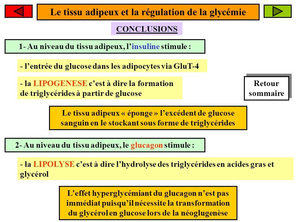1- Au niveau du tissu adipeux, linsuline stimule : CONCLUSIONS Le tissu adipeux « éponge » lexcédent de glucose sanguin en le stockant sous forme de triglycérides Le tissu adipeux et la régulation de la glycémie - lentrée du glucose dans les adipocytes via GluT-4 - la LIPOGENESE cest à dire la formation de triglycérides à partir de glucose 2- Au niveau du tissu adipeux, le glucagon stimule : - la LIPOLYSE cest à dire lhydrolyse des triglycérides en acides gras et glycérol Leffet hyperglycémiant du glucagon nest pas immédiat puisquil nécessite la transformation du glycérol en glucose lors de la néoglugenèse Retour sommaire Retour sommaire
