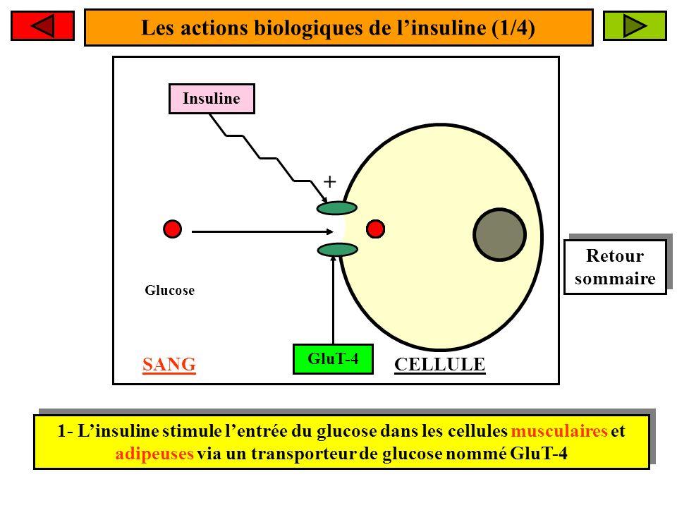 Les actions biologiques de linsuline (1/4) 1- Linsuline stimule lentrée du glucose dans les cellules musculaires et adipeuses via un transporteur de glucose nommé GluT-4 Insuline + GluT-4 Glucose SANGCELLULE Retour sommaire Retour sommaire