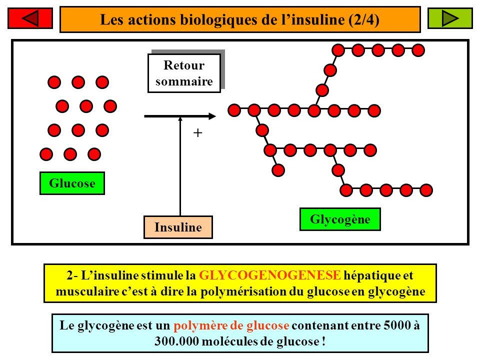 Les actions biologiques de linsuline (2/4) Insuline + 2- Linsuline stimule la GLYCOGENOGENESE hépatique et musculaire cest à dire la polymérisation du glucose en glycogène Glucose Glycogène Le glycogène est un polymère de glucose contenant entre 5000 à 300.000 molécules de glucose .