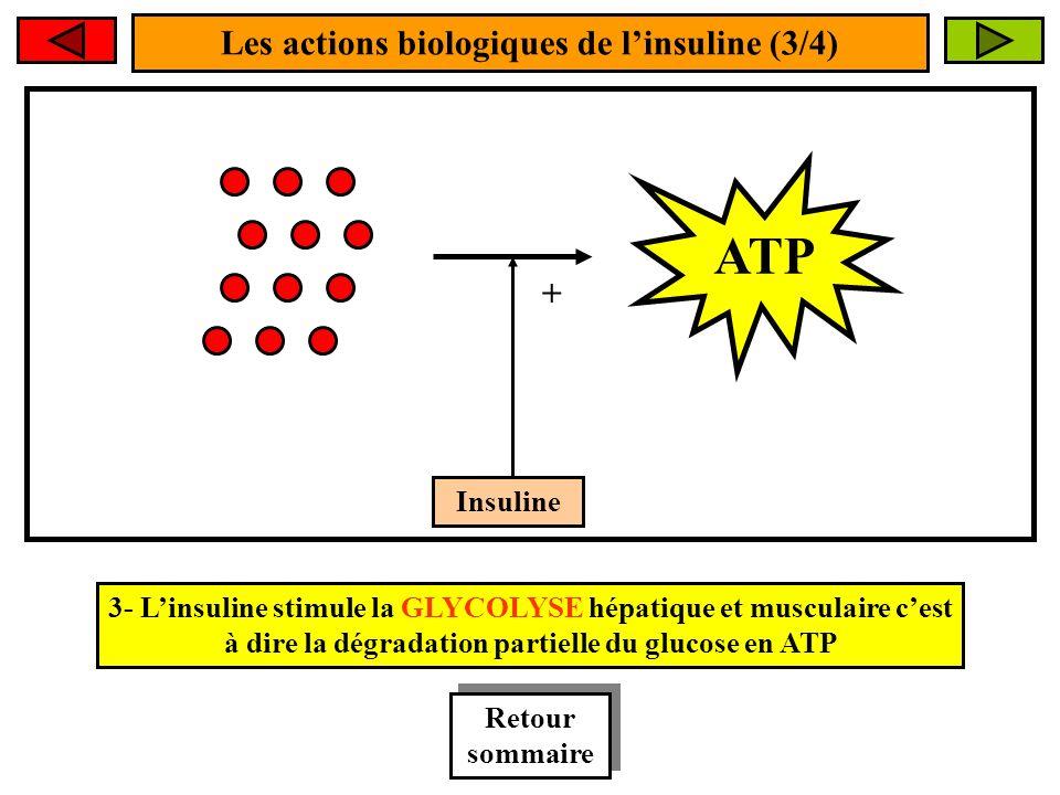 Les actions biologiques de linsuline (3/4) Insuline + ATP 3- Linsuline stimule la GLYCOLYSE hépatique et musculaire cest à dire la dégradation partielle du glucose en ATP Retour sommaire Retour sommaire