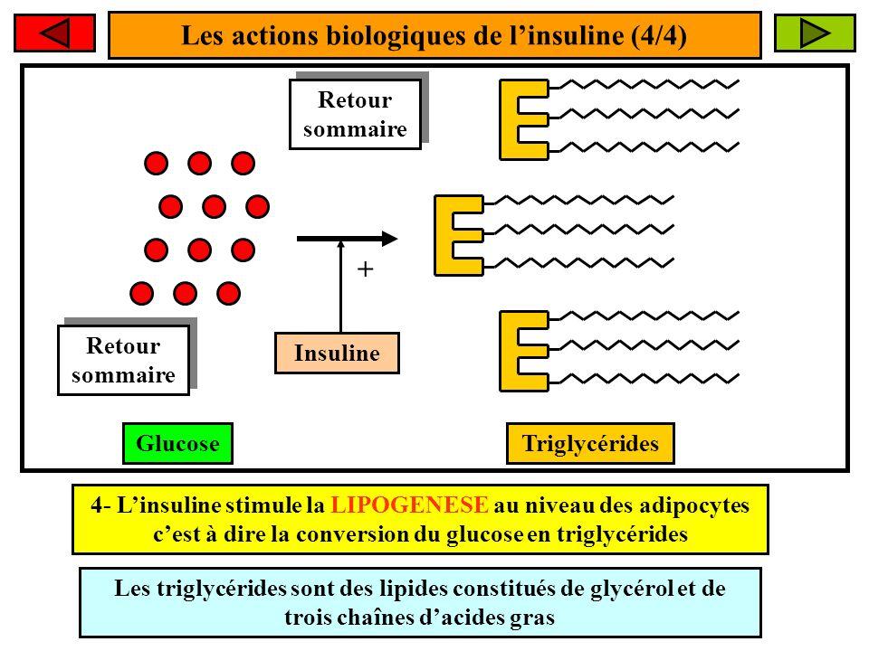 Les actions biologiques de linsuline (4/4) Insuline + 4- Linsuline stimule la LIPOGENESE au niveau des adipocytes cest à dire la conversion du glucose en triglycérides TriglycéridesGlucose Les triglycérides sont des lipides constitués de glycérol et de trois chaînes dacides gras Retour sommaire Retour sommaire Retour sommaire Retour sommaire