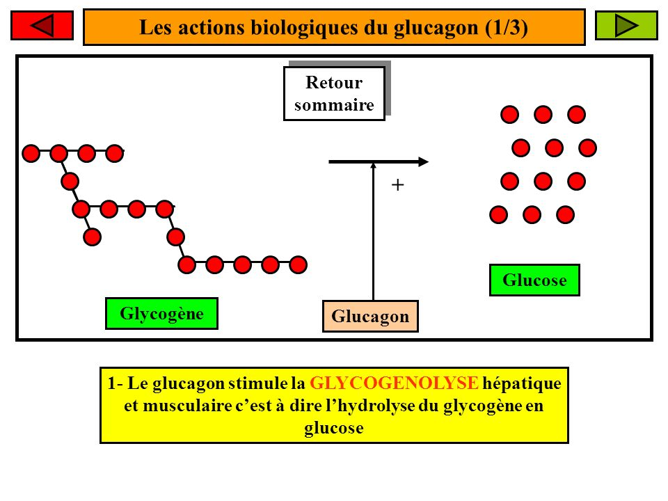 Les actions biologiques du glucagon (1/3) Glucagon + 1- Le glucagon stimule la GLYCOGENOLYSE hépatique et musculaire cest à dire lhydrolyse du glycogène en glucose Glucose Glycogène Retour sommaire Retour sommaire