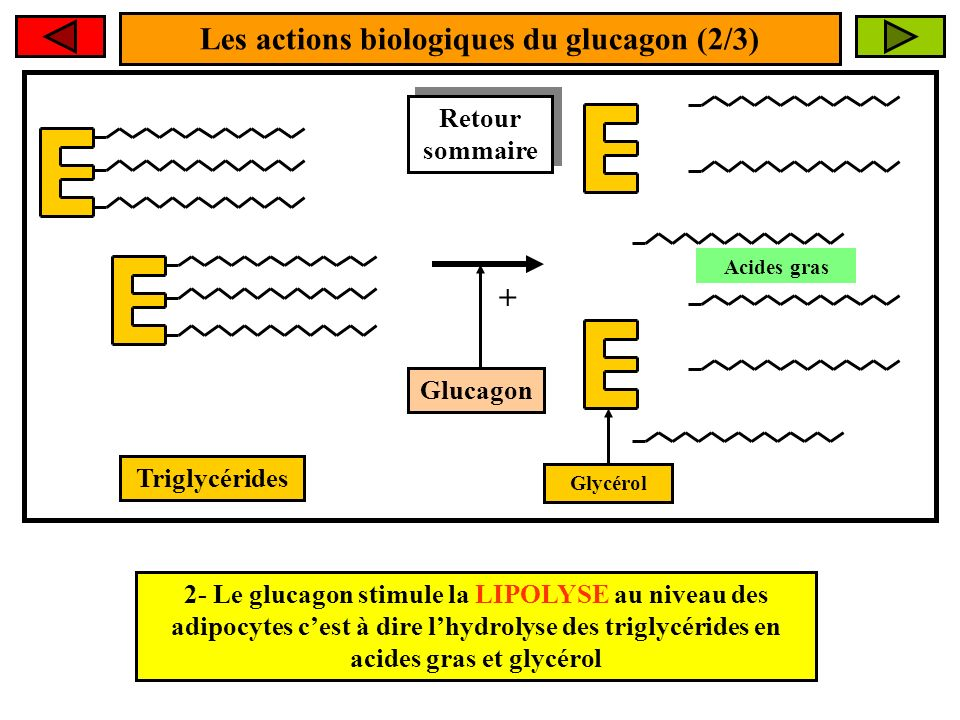 Les actions biologiques du glucagon (2/3) + 2- Le glucagon stimule la LIPOLYSE au niveau des adipocytes cest à dire lhydrolyse des triglycérides en acides gras et glycérol Triglycérides Glucagon Acides gras Glycérol Retour sommaire Retour sommaire