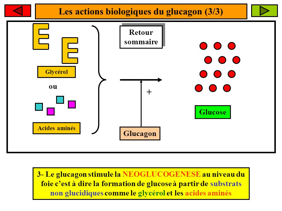 Les actions biologiques du glucagon (3/3) 3- Le glucagon stimule la NEOGLUCOGENESE au niveau du foie cest à dire la formation de glucose à partir de substrats non glucidiques comme le glycérol et les acides aminés Glucagon + Glucose Glycérol Acides aminés ou Retour sommaire Retour sommaire