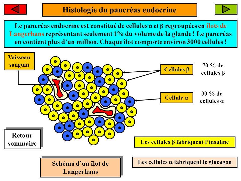 Histologie du pancréas endocrine Le pancréas endocrine est constitué de cellules et regroupées en îlots de Langerhans représentant seulement 1% du volume de la glande .