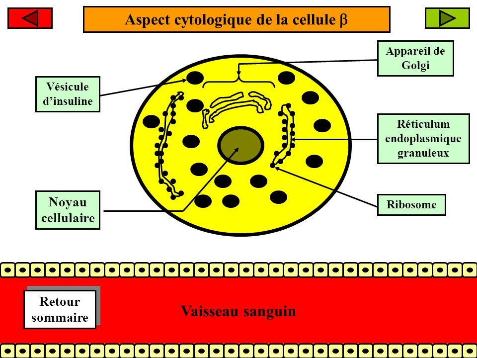 Aspect cytologique de la cellule Appareil de Golgi Réticulum endoplasmique granuleux Ribosome Vésicule dinsuline Vaisseau sanguin Noyau cellulaire Retour sommaire Retour sommaire