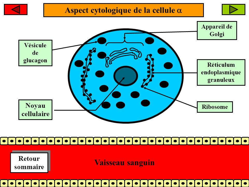 Aspect cytologique de la cellule Appareil de Golgi Réticulum endoplasmique granuleux Ribosome Vésicule de glucagon Vaisseau sanguin Noyau cellulaire Retour sommaire Retour sommaire