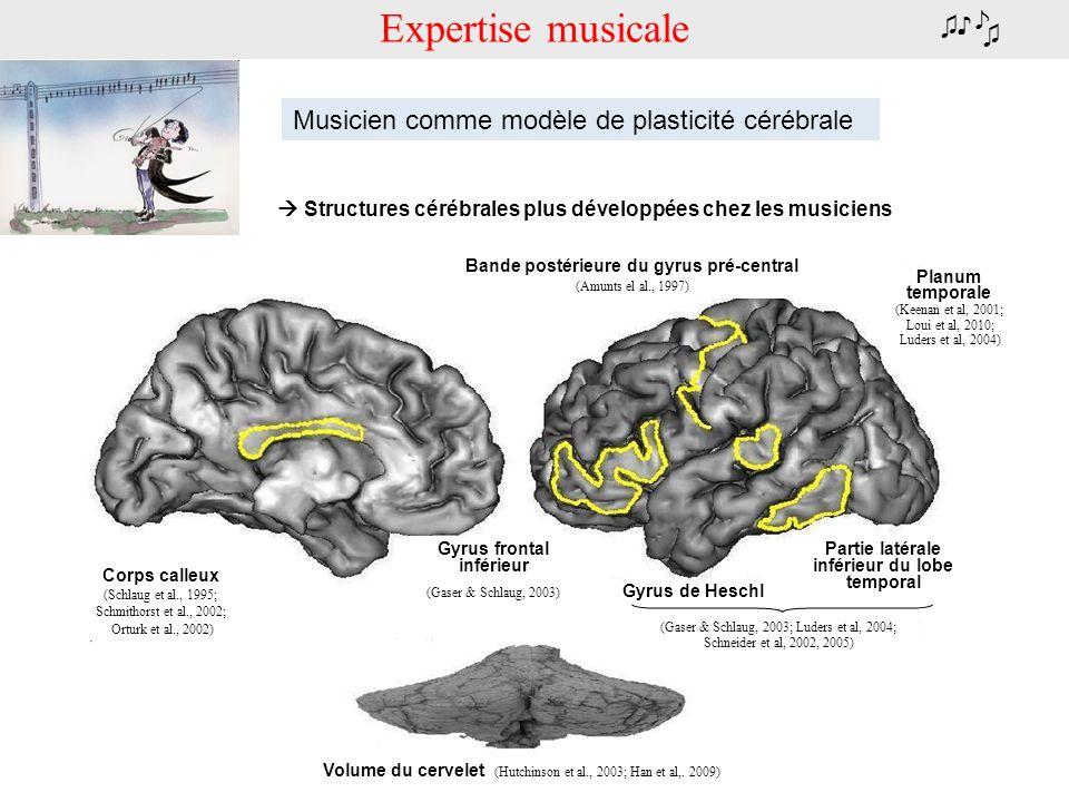 Expertise musicale Corps calleux (Schlaug et al., 1995; Schmithorst et al., 2002; Orturk et al., 2002) Gyrus frontal inférieur (Gaser & Schlaug, 2003)