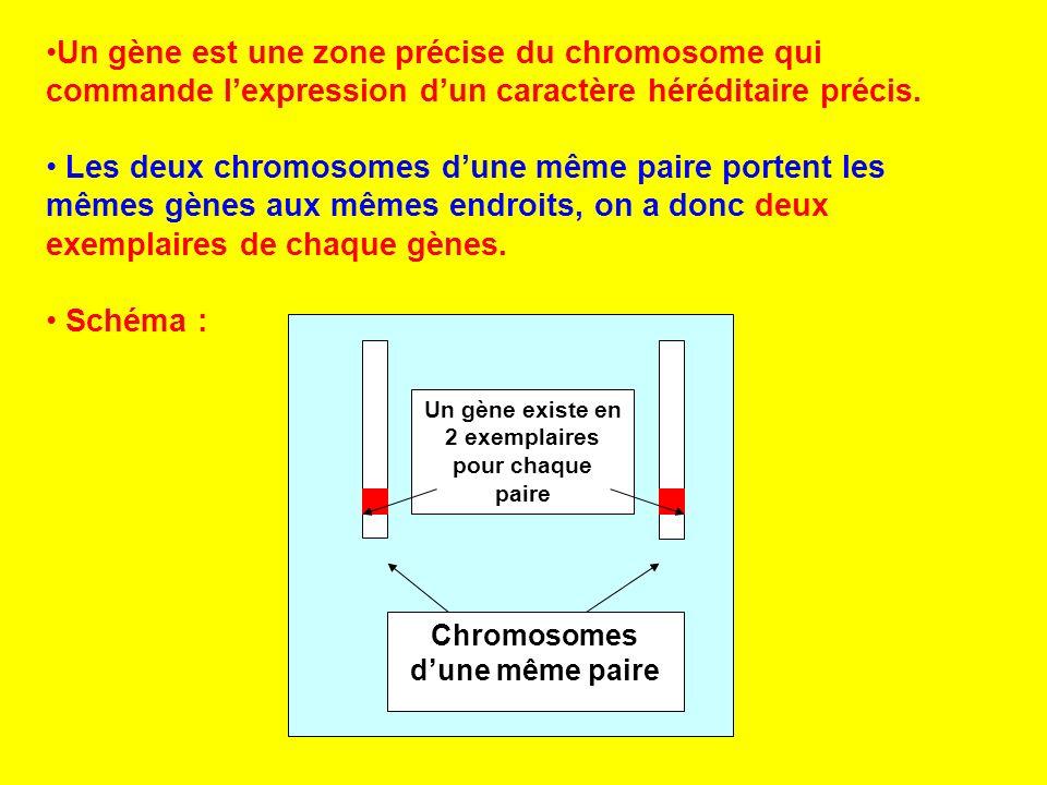 Un gène est une zone précise du chromosome qui commande lexpression dun caractère héréditaire précis. Les deux chromosomes dune même paire portent les