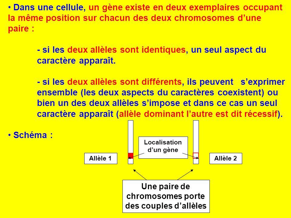 Dans une cellule, un gène existe en deux exemplaires occupant la même position sur chacun des deux chromosomes dune paire : - si les deux allèles sont