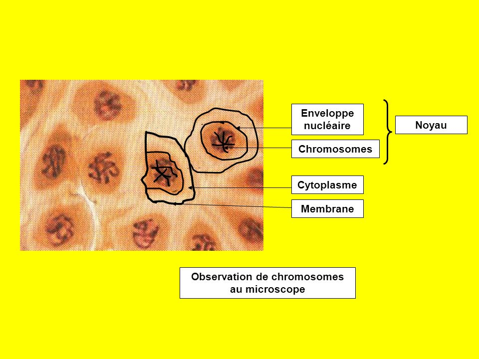 Le noyau des cellules contient des filaments, les chromosomes, qui ne sont observables que pendant la division de la cellule.
