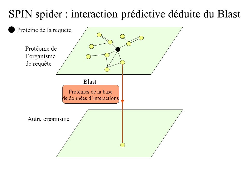 SPIN spider: Structure du programme Protein __dict__ Attributs dict_index Fonctions find_interactions() add-interaction() fasta_file() instance __dict__ Attributs gi org graph interact find_inter distance __class__ BFS() black_interaction() print_interaction() Class Protein Spider Blast interrog_blast() parse_blast() find_predictive_interactions() Protéine de la requête