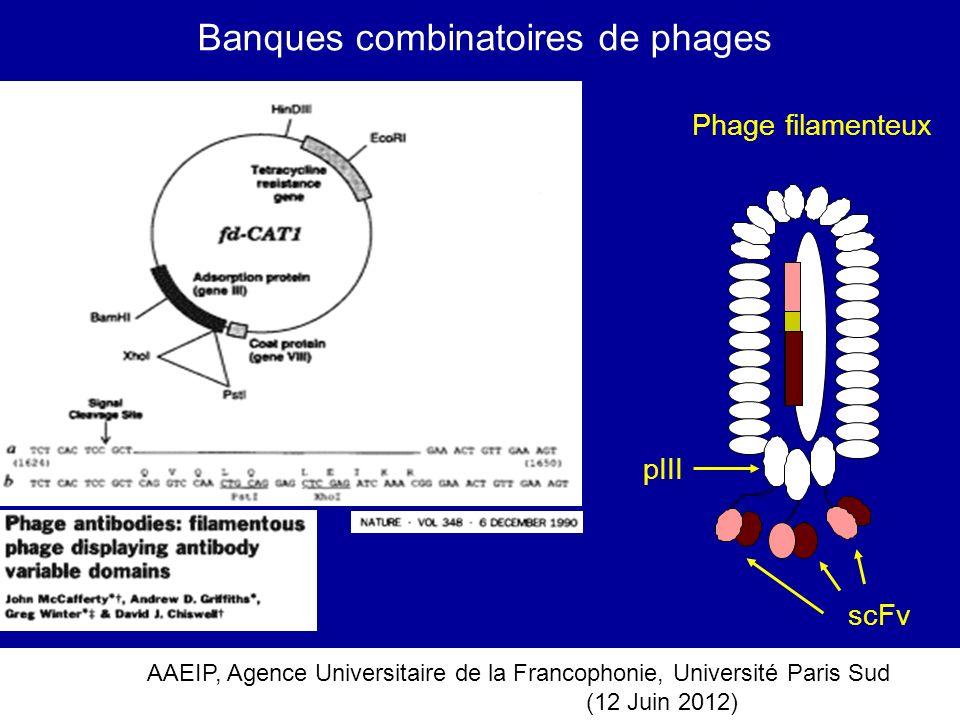 AAEIP, Agence Universitaire de la Francophonie, Université Paris Sud (12 Juin 2012) Banques combinatoires de phages Phage filamenteux scFv pIII