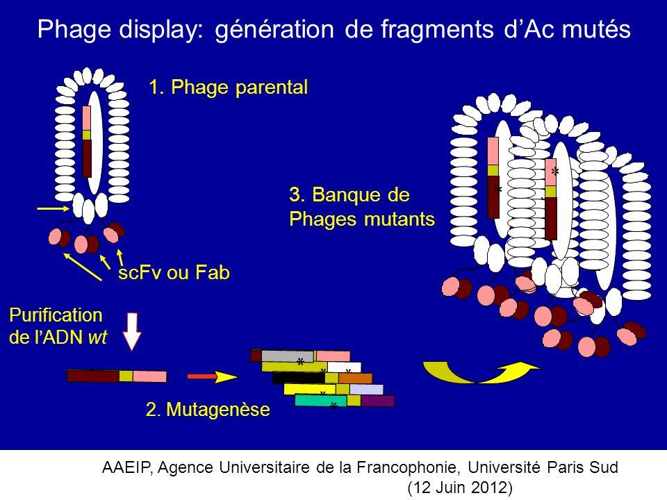 AAEIP, Agence Universitaire de la Francophonie, Université Paris Sud (12 Juin 2012) Phage display: génération de fragments dAc mutés * * * * 1. Phage