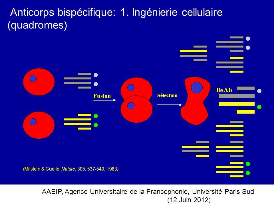 AAEIP, Agence Universitaire de la Francophonie, Université Paris Sud (12 Juin 2012) Anticorps bispécifique: 1. Ingénierie cellulaire (quadromes) BsAb