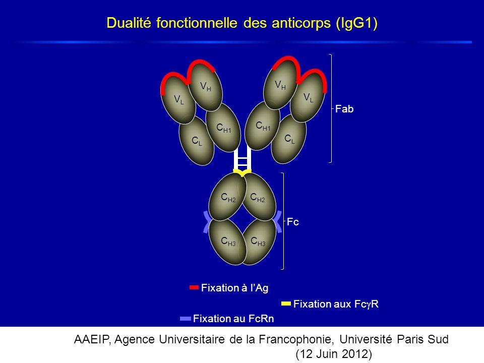 AAEIP, Agence Universitaire de la Francophonie, Université Paris Sud (12 Juin 2012) Fixation au FcRn Dualité fonctionnelle des anticorps (IgG1) C H1 V