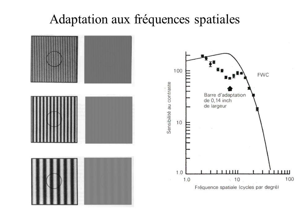 Adaptation aux fréquences spatiales