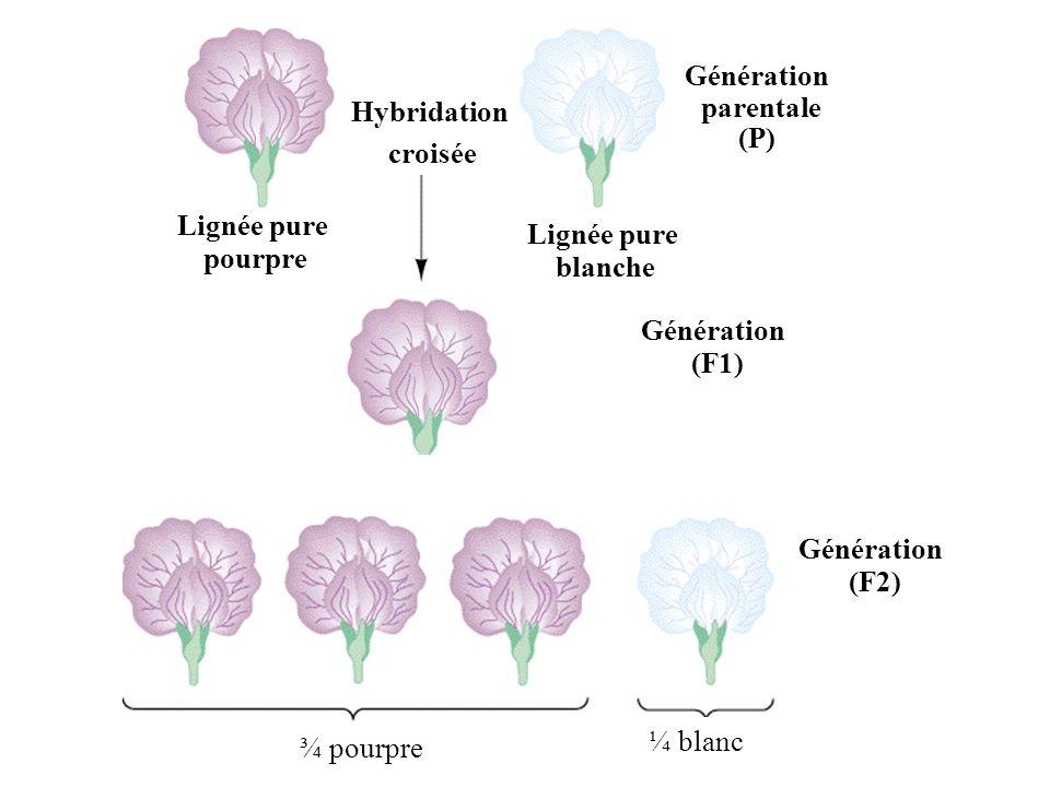 Hybridation croisée Génération parentale (P) Lignée pure pourpre Génération (F1) Hybride (F1) Fleurs pourpres Lignée pure blanche Génération (F2) ¾ po